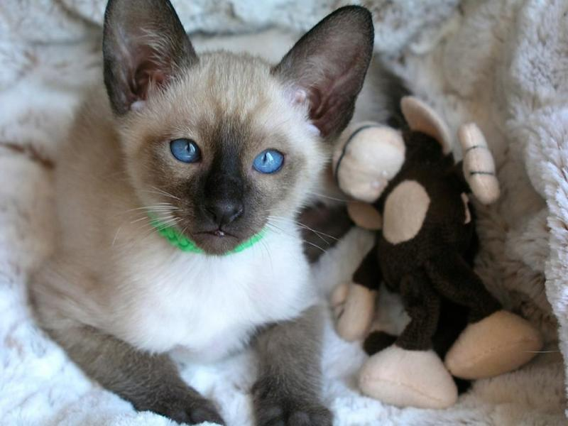 Siamese Kittens for sale in Potomack Md