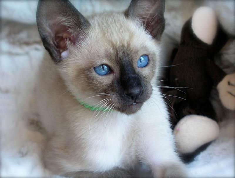 siamese cat breeder