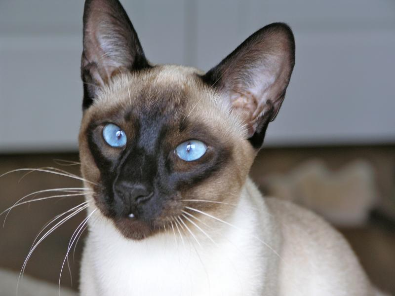 Siamese Cats For Sale Nc