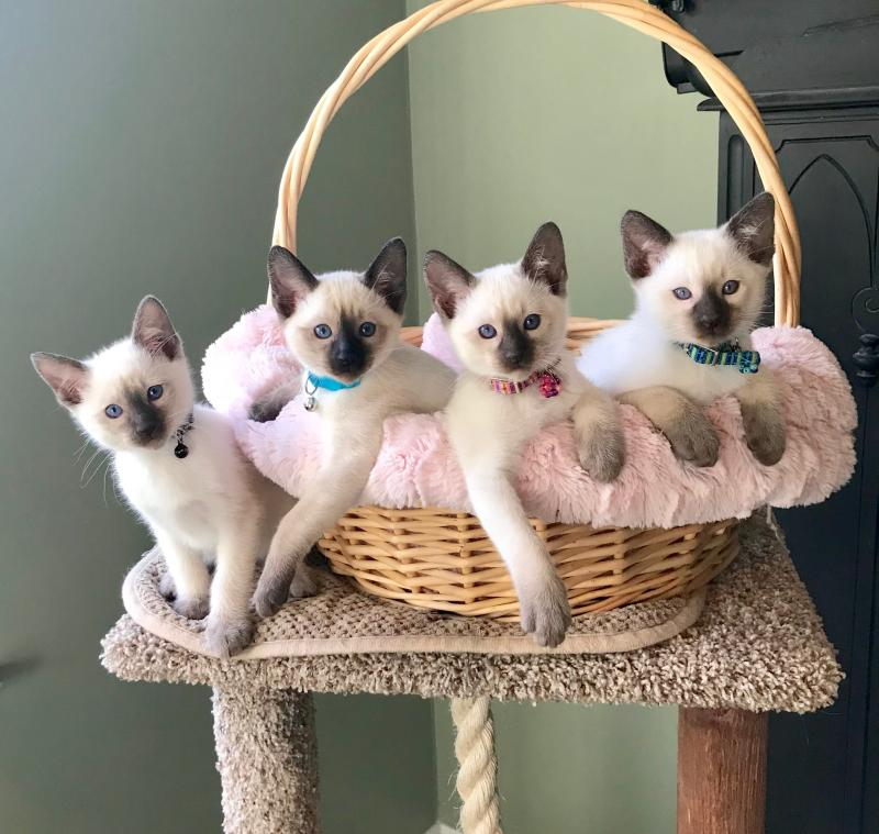 Beautiful Chocolate and Seal Point Siamese Kittens for Sale in Charlotte NC