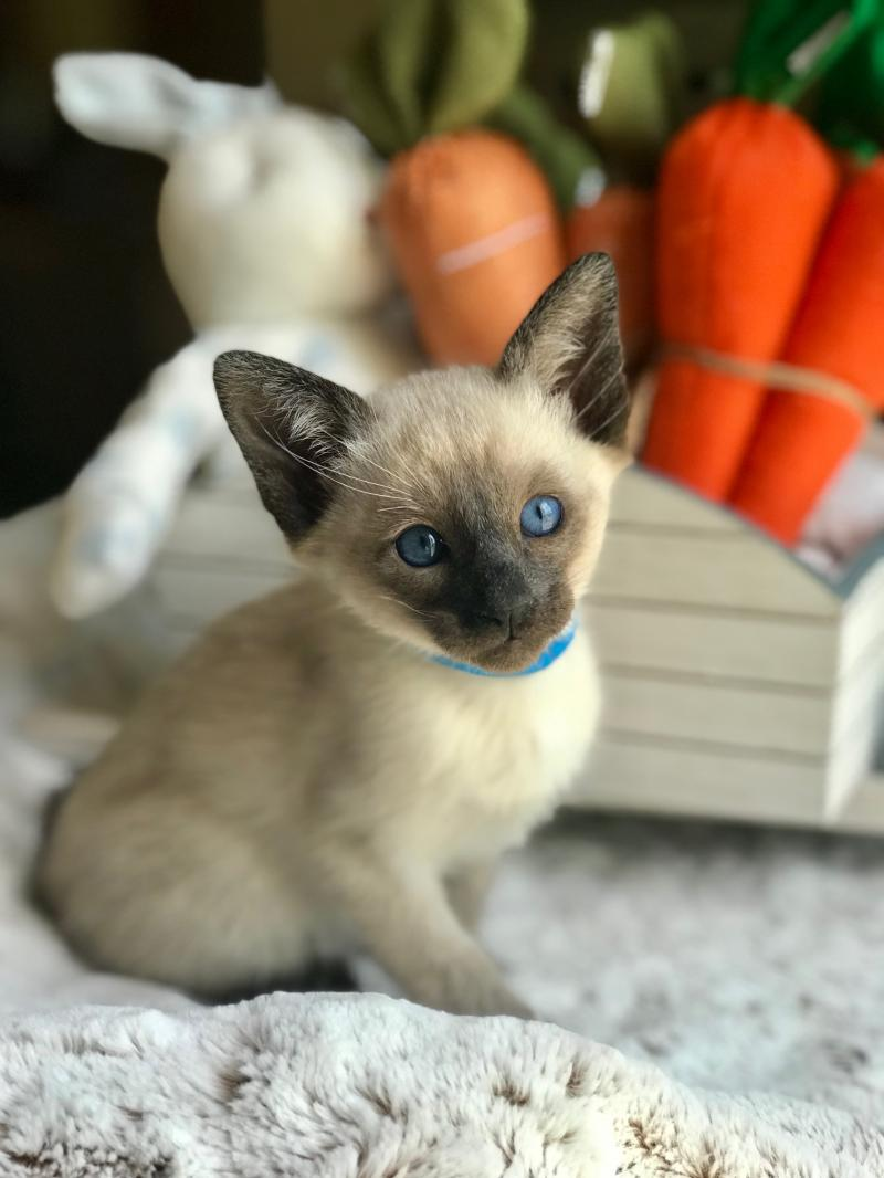 siamese, kitten, for sale, seal point,