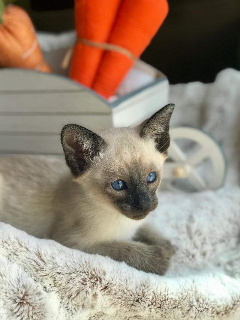 siamese, adoption, sale, carolina, kitten
