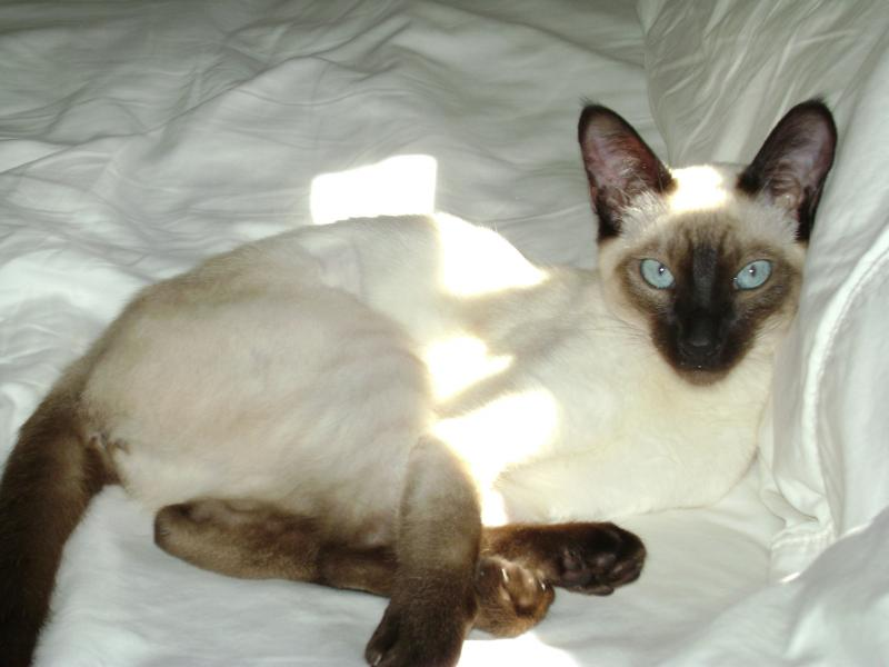 buy siamese kittens