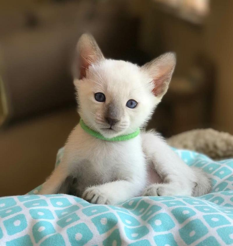 Beautiful Siamese Kittens by Carolina Blues Cattery