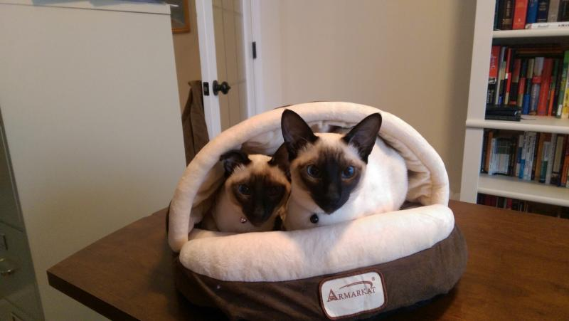 Seal Point Siamese kittens for sale