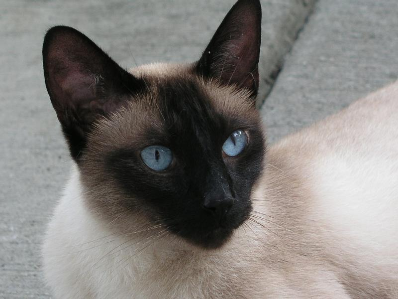 seal point Siamese Cat from Carolina Blues Cattery