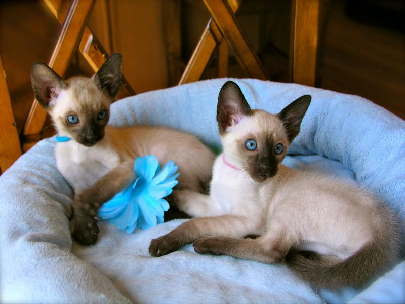 Siamese Cat Kitten Breeders