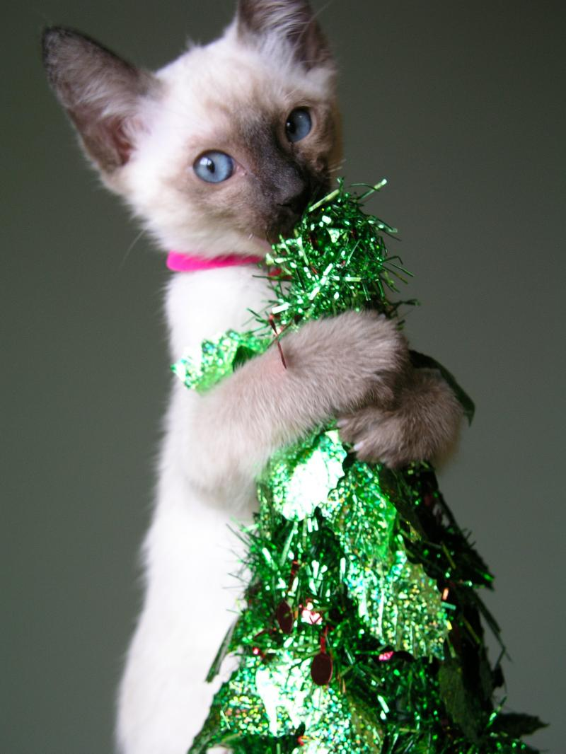 Siamese Breeders Kittens for Sale
