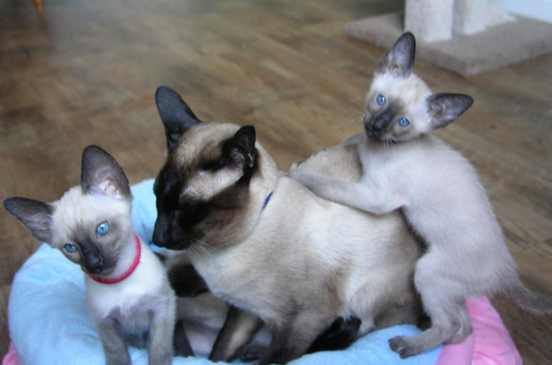 Siamese kittens for sale in South Carolina