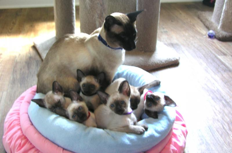Siamese Kitten Cat breeder Atlanta Georgia
