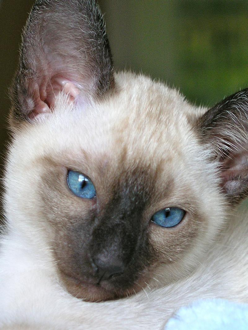 Seal Point Siamese Kitten from Carolina Blues Cattery
