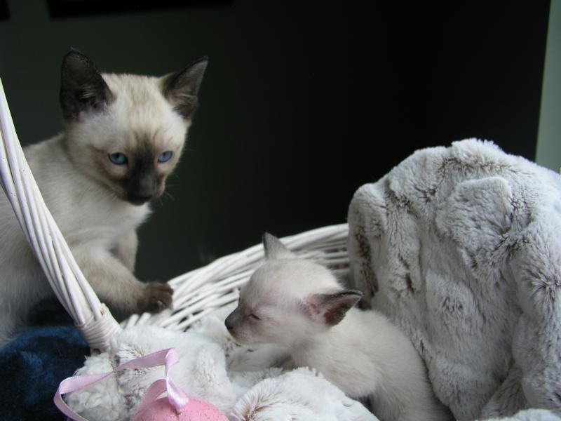 Seal Point Siamese Kittens for Sale Chocolate point Bue point Lilac point