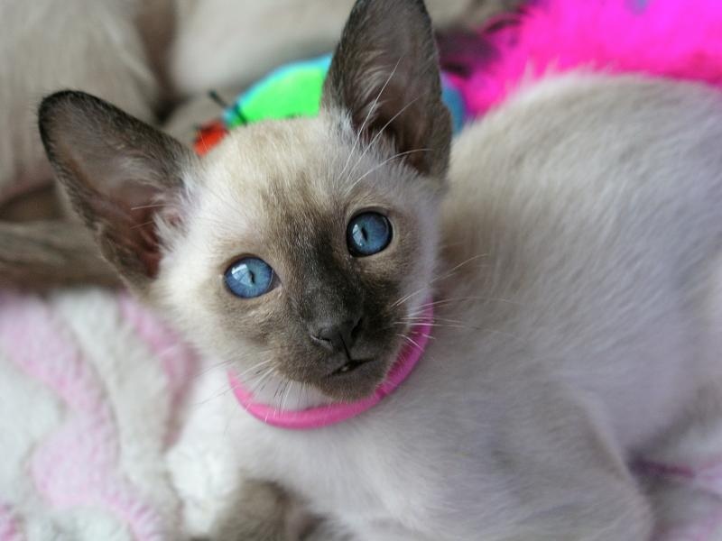 SIAMES KITTENS FOR SALE IN GEORGIA