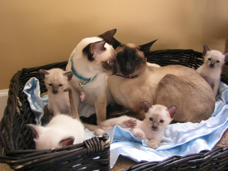 SEAL POINT SIAMESE FAMILY