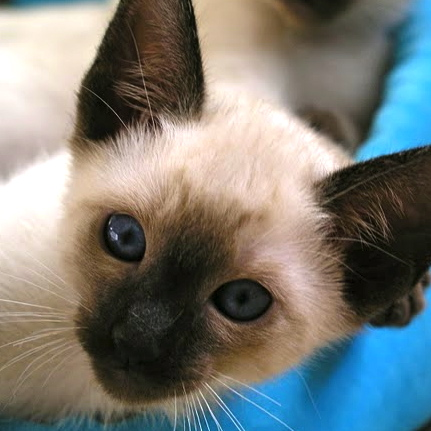 TRADITIONAL CLASSIC SIAMESE KITTEN