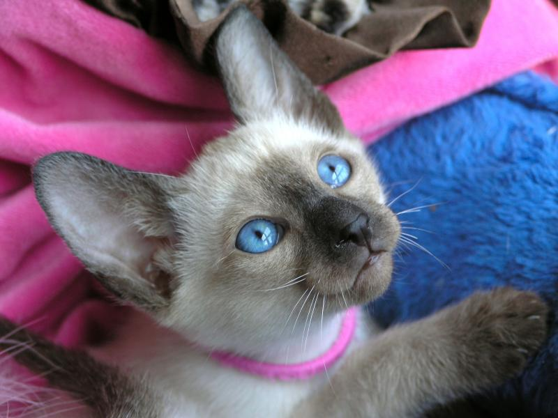 female seal point Siamese kitten for sale www.carolinabluescattery.com
