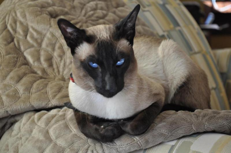 Traditional Siamese Kittens for Sale