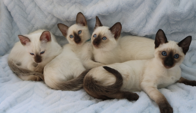 Kathy's Country Siamese
