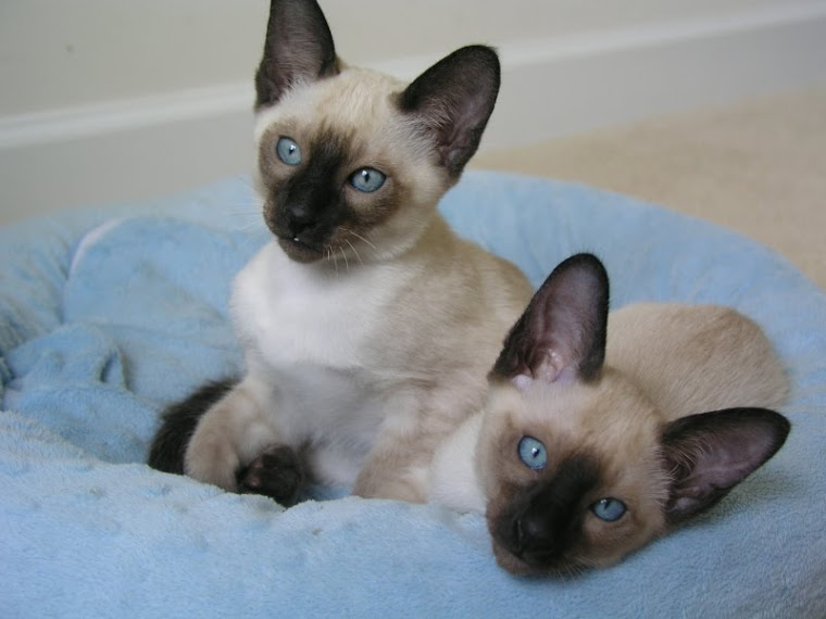 Siamese Kittens for sale in Virginia