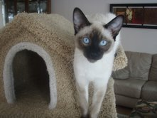 Siamese kittens from Carolina Blues Cattery