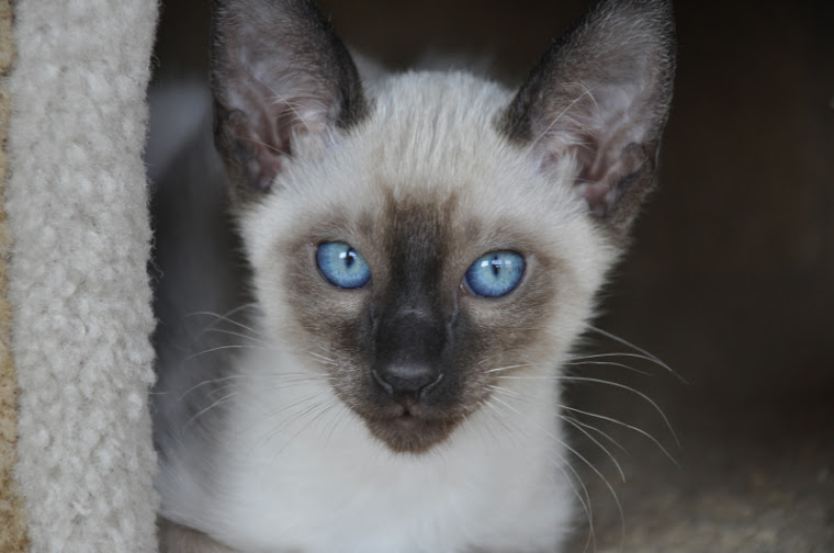 siamese kittens for sale in Atlanta Georgia GA